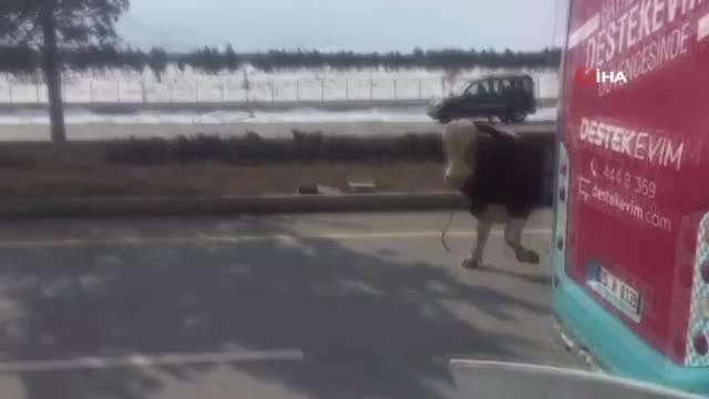 900 kiloluk kızgın boğa trafiği birbirine kattı