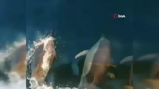 Yunusların tekneyle yarışı