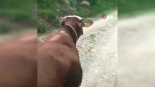 Sürmeneli Hüseyin Durmuş tosunu böyle eğitti!