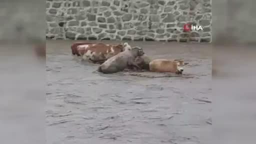 Sele kapılan inekler böyle görüntülendi